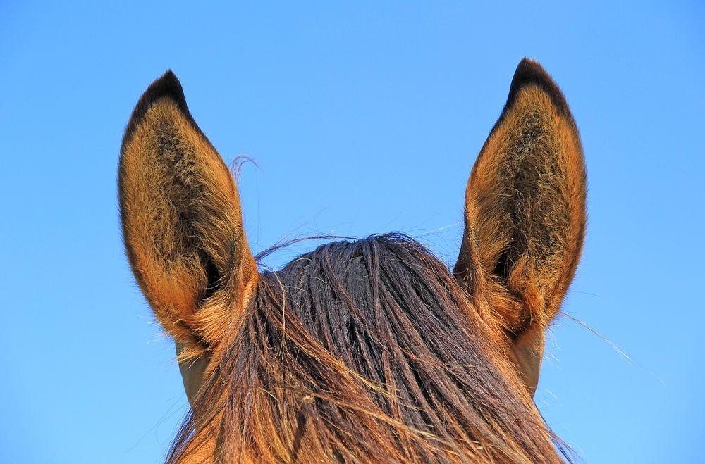 Orejas de los caballos